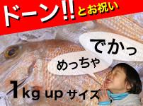 祝い鯛1kgUPサイズ